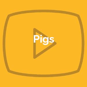 Pigs 3/1